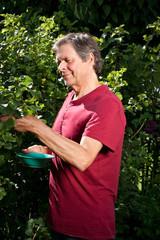 Aktiver ältere Herr pflückt in seinem Garten Beeren