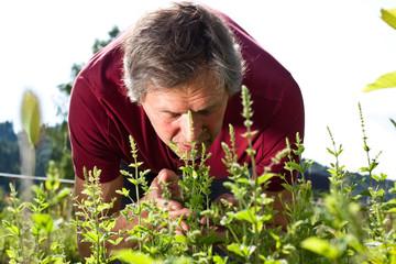 Älterer Mann riecht in seinem Garten an  Pfefferminzesträucher