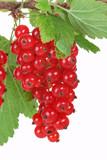 Branch with red currants, rote Johannisbeere