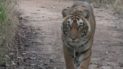 Bengal Tiger stalking