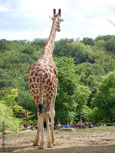 In de dag Giraffe girafe