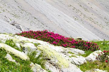 Rhododendrons dans les Cerces