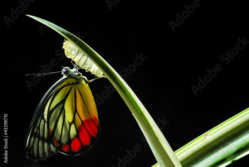 Monarch Butterfly, Milkweed Mania, baby born in the nature. - 43398715