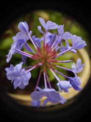 Fleurs violettes / macro