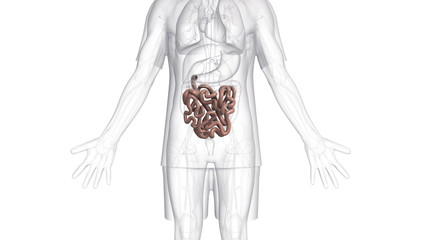 A body which is transparent apart from the small intestine.