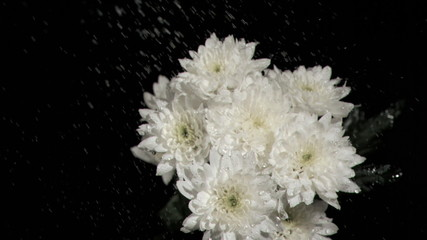 Bunch of white chrysanthemums in super slow motion receiving drops