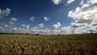 Ripe wheat field.