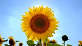 Sunflower against a sky. Original video without any processing
