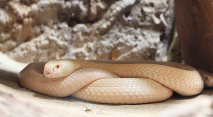 whire cobra snake