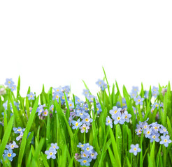 Myosotis Flowers into Green Grass / Isolated on White Background