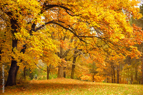 Autumn / Gold Trees in a park 43414176