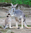 australian grey kangaroo affectionate with baby/joey