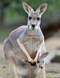 australian grey kangaroo with baby/joey in pouch poster