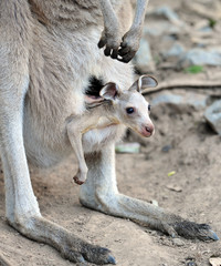 australian grey kangaroo with baby/joey in pouch
