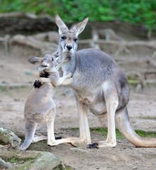 australian grey kangaroo affectionate with baby/joey