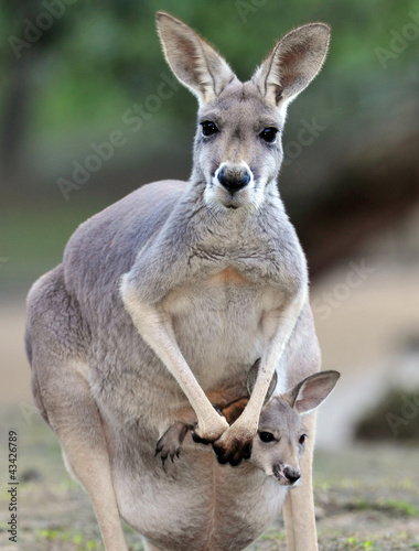australian grey kangaroo with baby/joey in pouch