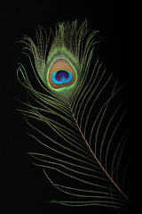 Closeup of peacock feather on black