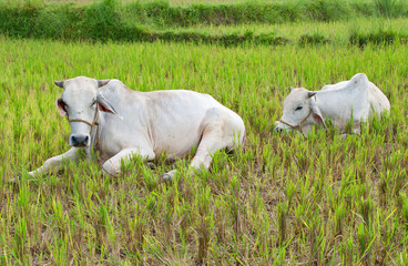 two white cows resting on rice field