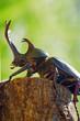 かぶと虫 ‐Trypoxylus dichotomus‐
