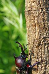 かぶと虫 ‐Japanese rhinoceros beetle‐