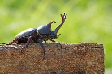 かぶと虫 ‐Japanese horned beetle‐