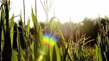 corn fields, backlight