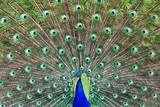 Fototapeta pióro - pióro - Ptak