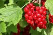 Rote Johannisbeeren im Garten, red currants