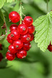 Red currants, rote Johannisbeeren