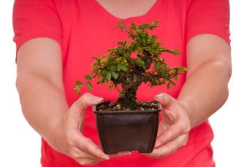 Kleine Ulme als Bonsai-Baum wird von zwei Händen gehalten