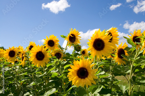 Fototapeten,sonnenblume,sonnenblume,blume,blume