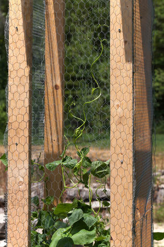 Pole Beans Climbing on Lattice