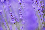 Fototapety closeup of lavender in the field