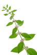 クールミントの花と葉