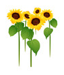 vector icon sunflower