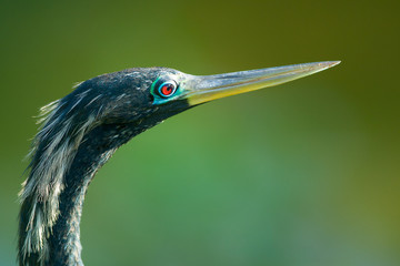 Bird with long beak or bill called Anhinga