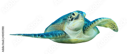 Green Sea Turtle isolated on white