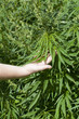 Hand near cannabis leaves