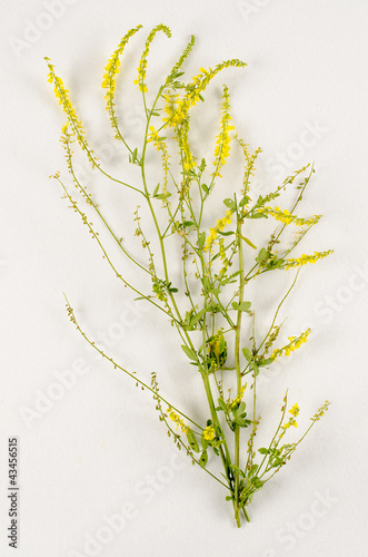 Melilotus officinalis / Mélilot officinal