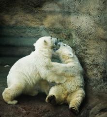 two little Polar Bear - Ursus Maritimus