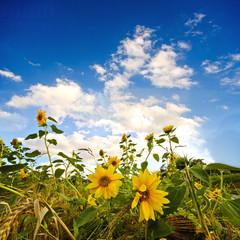 Sommer: Sonnenblumen auf Wiese