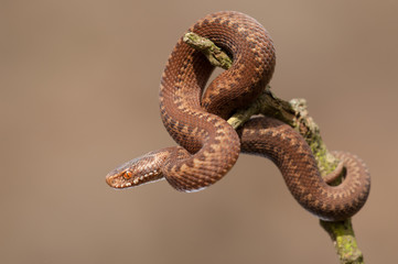 European Adder Juvenile