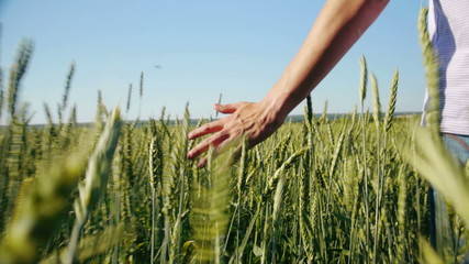Male hand touching rye in wheat  field