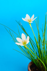 flower of Zephyranthes white (candida Herb)