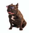 brown french bulldog in sunglasses