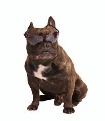 little bulldog in sunglasses