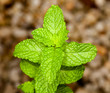 Mint leaves on herb plant in macro