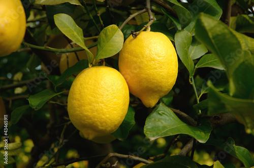 canvas print picture Zwei Zitronen am Ast