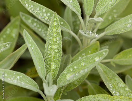 Sage leaves on herb plant in macro