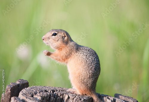 Gopher (european ground squirrel, spermophilus citellus, suslik)